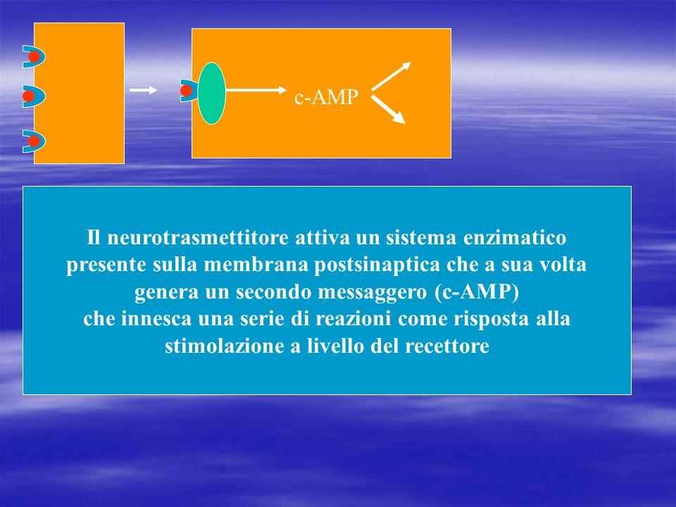Il neurotrasmettitore attiva un sistema enzimatico