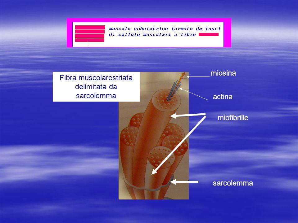 Fibra muscolarestriata delimitata da sarcolemma
