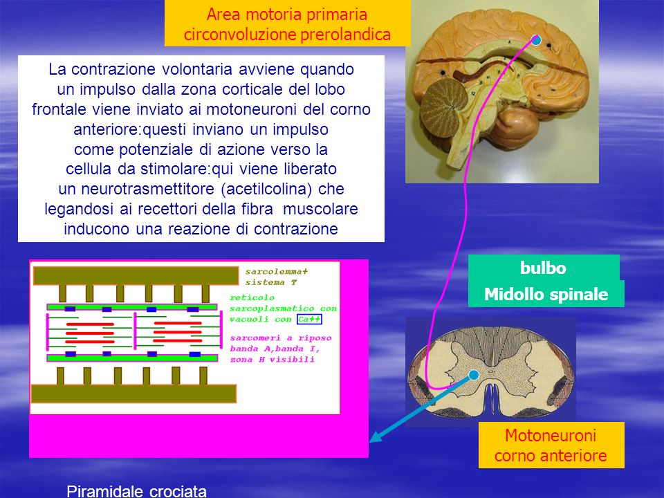 Area motoria primaria circonvoluzione prerolandica