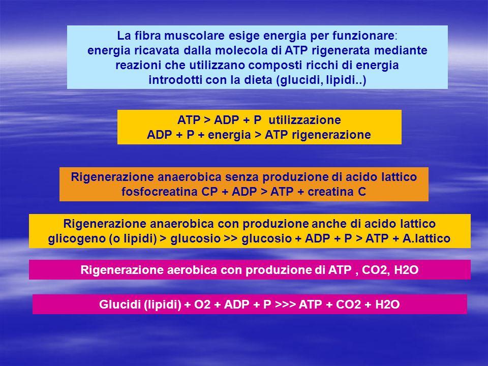 Rigenerazione aerobica con produzione di ATP , CO2, H2O