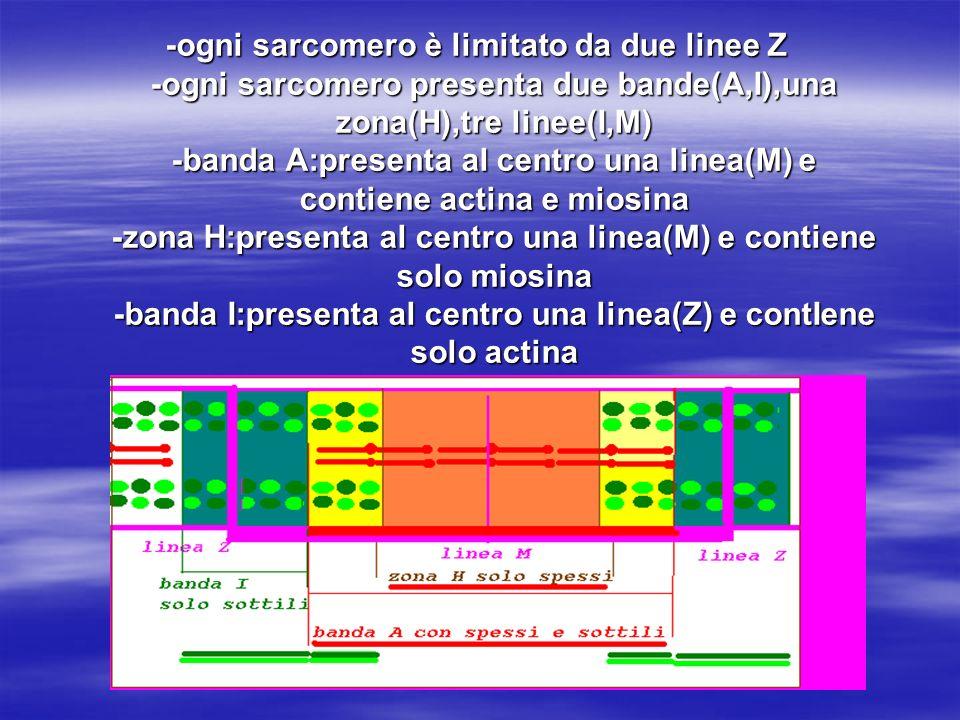-ogni sarcomero è limitato da due linee Z -ogni sarcomero presenta due bande(A,I),una zona(H),tre linee(I,M) -banda A:presenta al centro una linea(M) e contiene actina e miosina -zona H:presenta al centro una linea(M) e contiene solo miosina -banda I:presenta al centro una linea(Z) e contIene solo actina