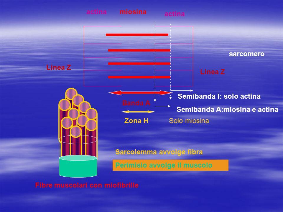 actina miosina. actina. sarcomero. Linea Z. Linea Z. Semibanda I: solo actina. Banda A. Semibanda A:miosina e actina.