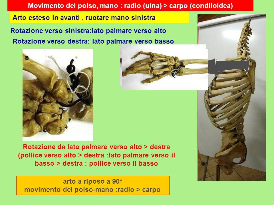 Movimento del polso, mano : radio (ulna) > carpo (condiloidea)