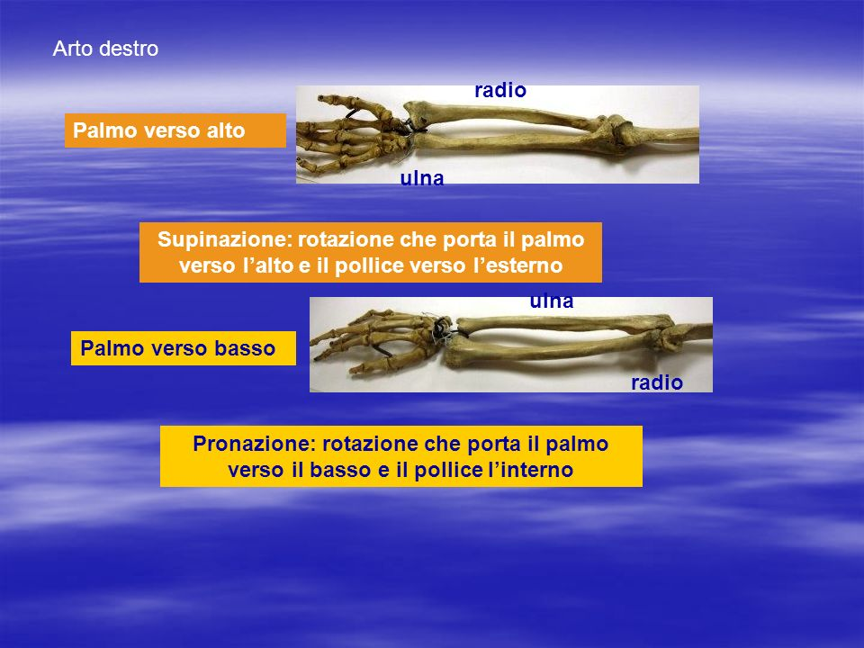 Arto destro radio. Palmo verso alto. ulna. Supinazione: rotazione che porta il palmo verso l'alto e il pollice verso l'esterno.