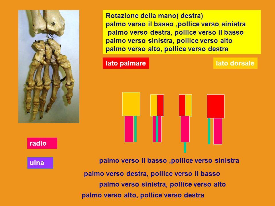Rotazione della mano( destra) palmo verso il basso ,pollice verso sinistra palmo verso destra, pollice verso il basso palmo verso sinistra, pollice verso alto palmo verso alto, pollice verso destra