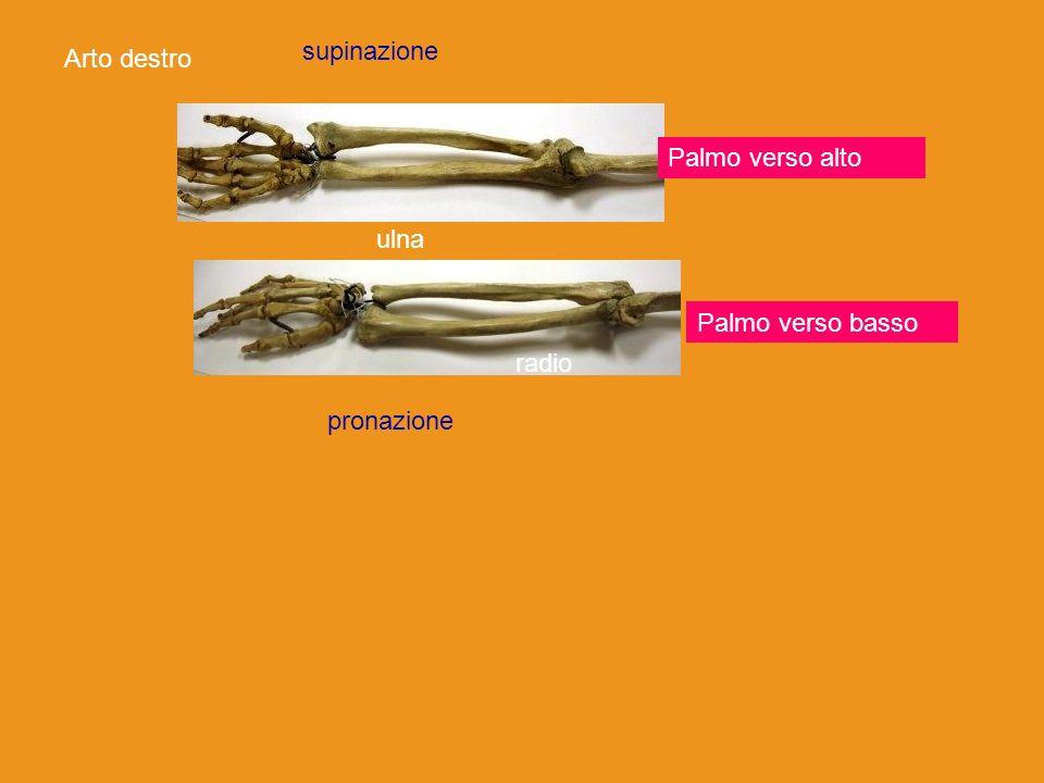 supinazione Arto destro radio Palmo verso alto ulna Palmo verso basso radio pronazione