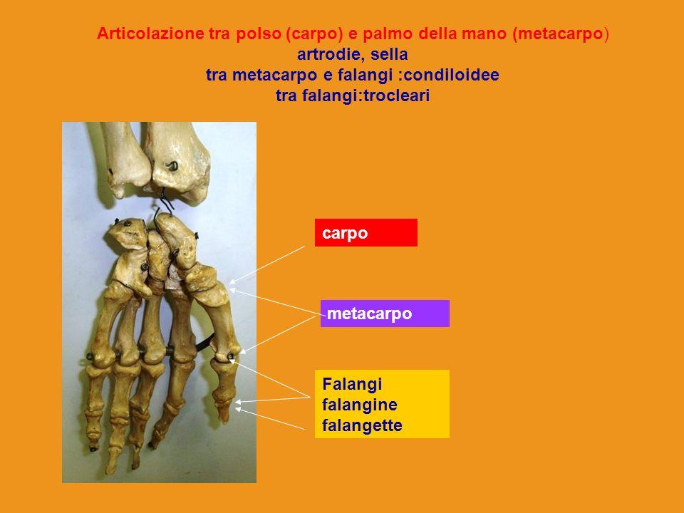Articolazione tra polso (carpo) e palmo della mano (metacarpo) artrodie, sella tra metacarpo e falangi :condiloidee tra falangi:trocleari