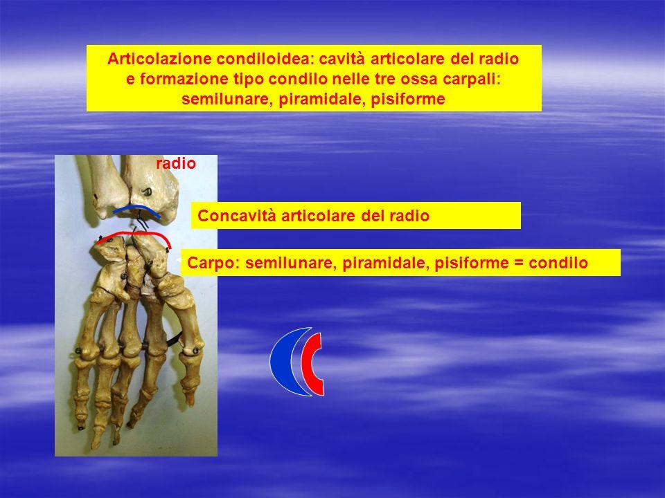 Articolazione condiloidea: cavità articolare del radio e formazione tipo condilo nelle tre ossa carpali: semilunare, piramidale, pisiforme
