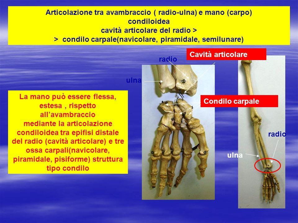 Articolazione tra avambraccio ( radio-ulna) e mano (carpo) condiloidea cavità articolare del radio > > condilo carpale(navicolare, piramidale, semilunare)