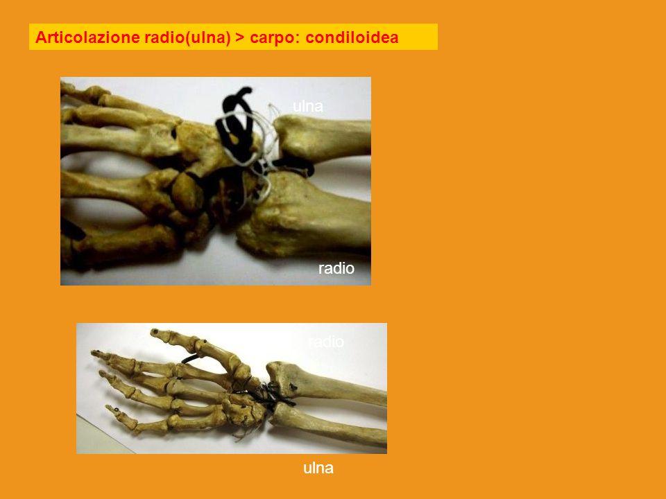Articolazione radio(ulna) > carpo: condiloidea