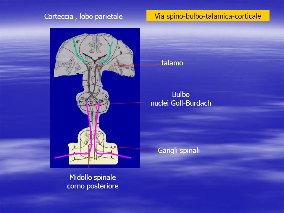 Corteccia , lobo parietale Via spino-bulbo-talamica-corticale