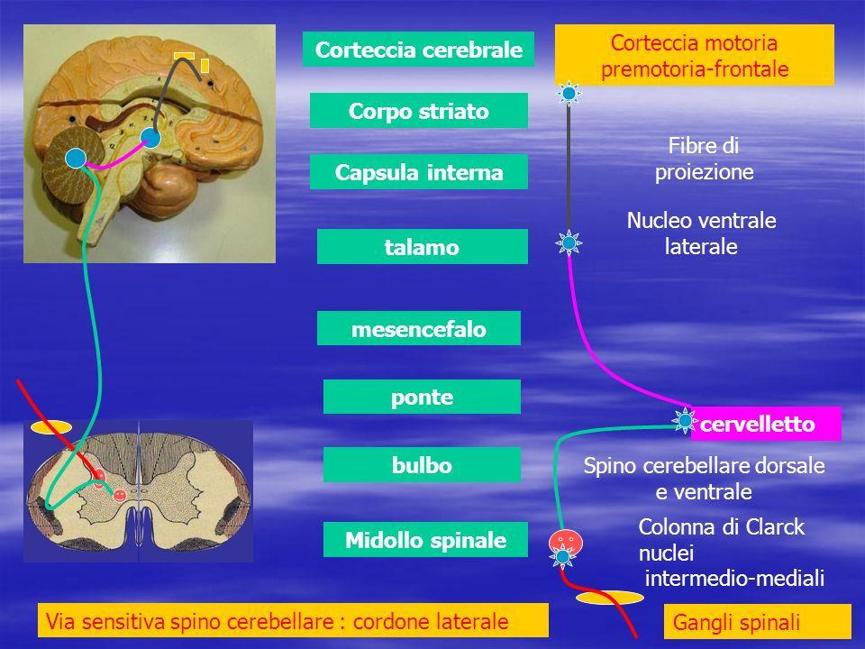 Corteccia motoria premotoria-frontale