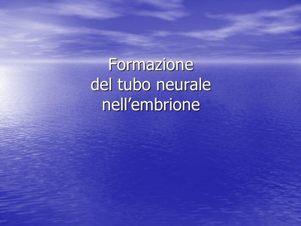 Formazione del tubo neurale nell'embrione