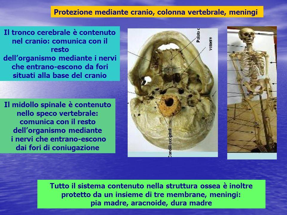 Protezione mediante cranio, colonna vertebrale, meningi