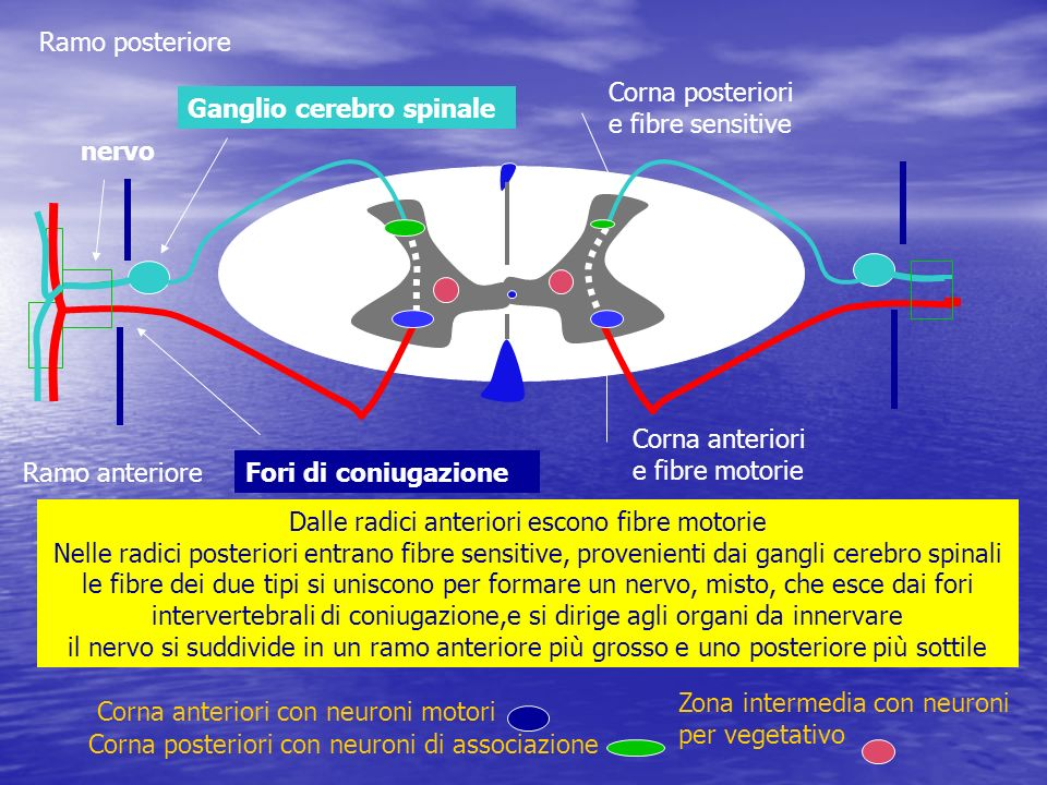 Ramo posteriore Corna posteriori e fibre sensitive. Ganglio cerebro spinale. nervo. Corna anteriori e fibre motorie.