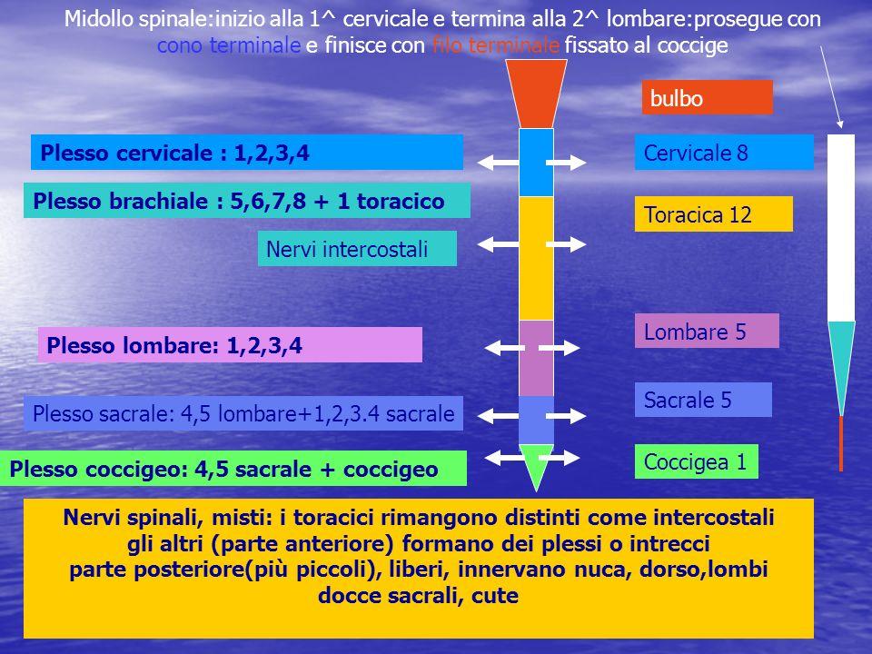 Midollo spinale:inizio alla 1^ cervicale e termina alla 2^ lombare:prosegue con cono terminale e finisce con filo terminale fissato al coccige