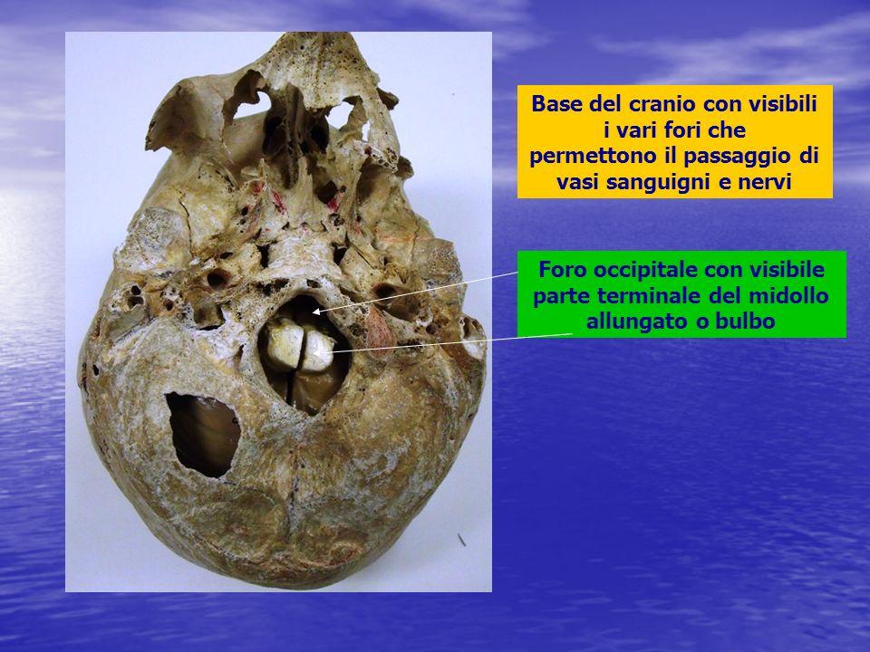 Base del cranio con visibili i vari fori che permettono il passaggio di vasi sanguigni e nervi
