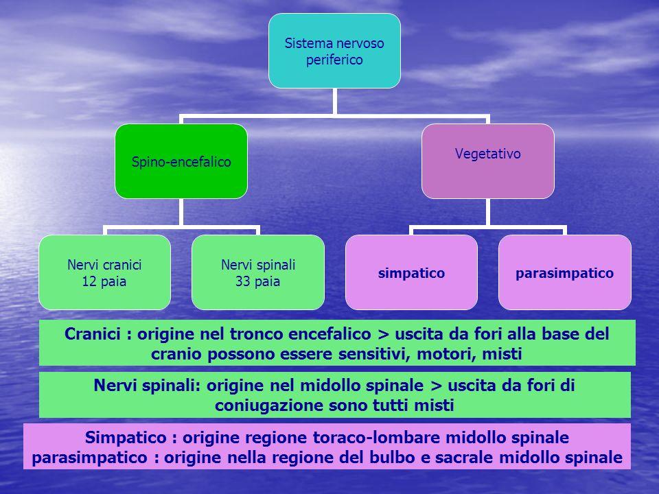 Cranici : origine nel tronco encefalico > uscita da fori alla base del cranio possono essere sensitivi, motori, misti