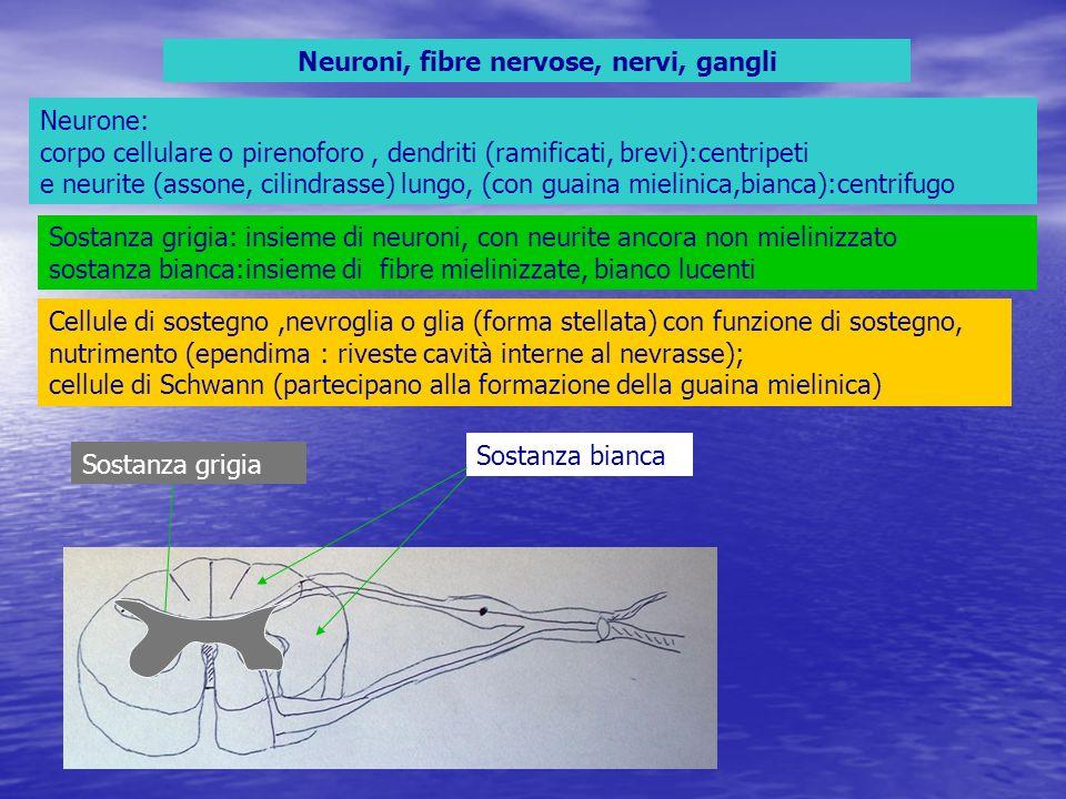 Neuroni, fibre nervose, nervi, gangli