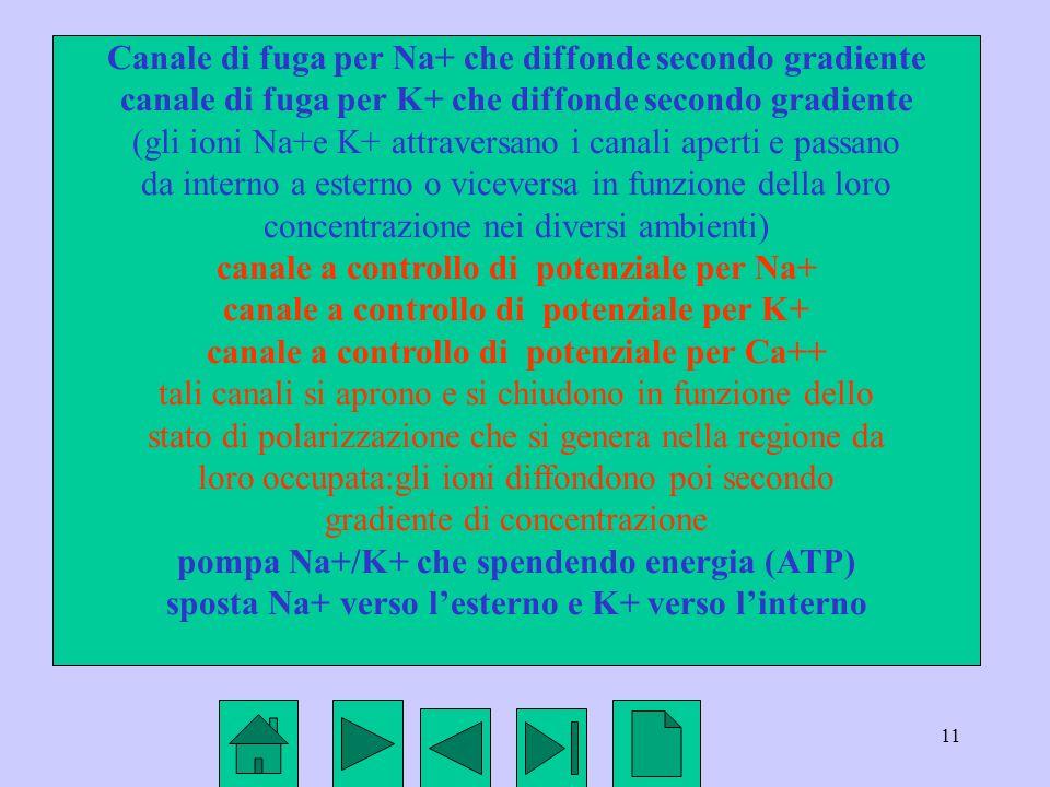 Canale di fuga per Na+ che diffonde secondo gradiente