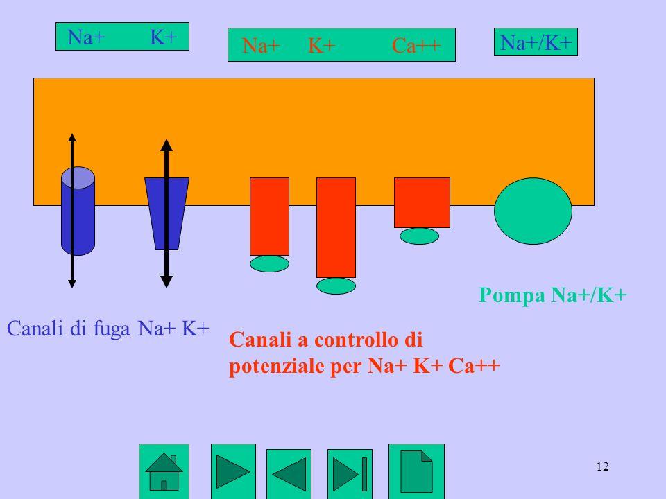 Na+ K+ Na+ K+ Ca++ Na+/K+ Pompa Na+/K+ Canali di fuga Na+ K+ Canali a controllo di potenziale per Na+ K+ Ca++