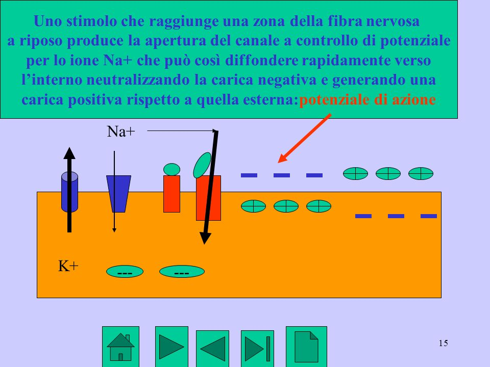 Uno stimolo che raggiunge una zona della fibra nervosa