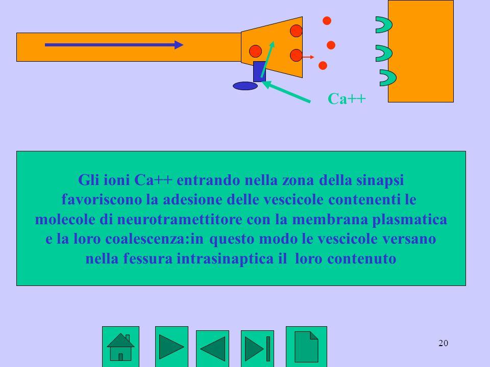 Gli ioni Ca++ entrando nella zona della sinapsi