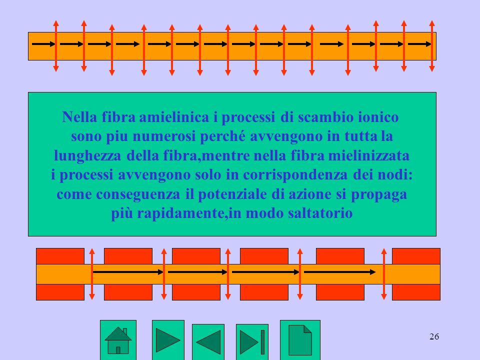 Nella fibra amielinica i processi di scambio ionico