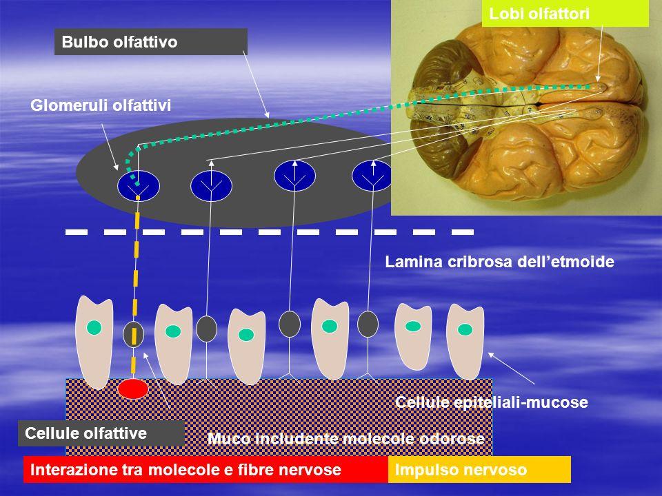 Lobi olfattori Bulbo olfattivo. Glomeruli olfattivi. Lamina cribrosa dell'etmoide. Cellule epiteliali-mucose.