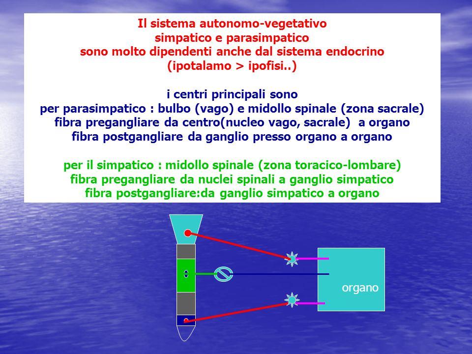 Il sistema autonomo-vegetativo simpatico e parasimpatico sono molto dipendenti anche dal sistema endocrino (ipotalamo > ipofisi..) i centri principali sono per parasimpatico : bulbo (vago) e midollo spinale (zona sacrale) fibra pregangliare da centro(nucleo vago, sacrale) a organo fibra postgangliare da ganglio presso organo a organo per il simpatico : midollo spinale (zona toracico-lombare) fibra pregangliare da nuclei spinali a ganglio simpatico fibra postgangliare:da ganglio simpatico a organo