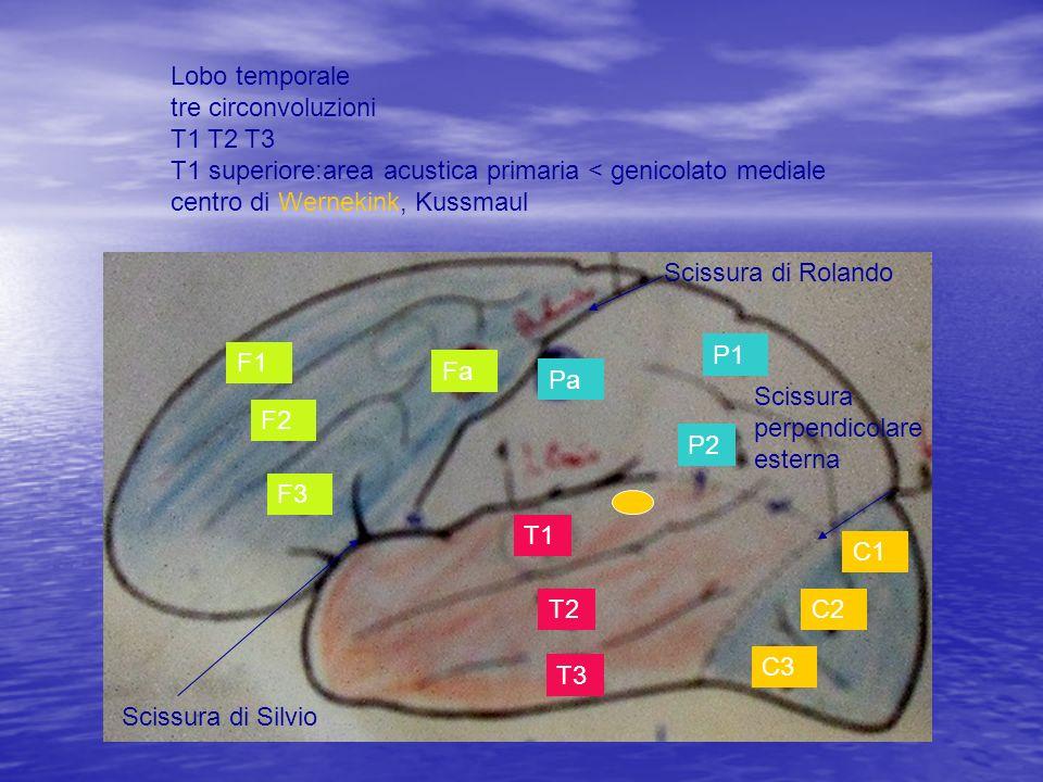 Lobo temporale tre circonvoluzioni T1 T2 T3 T1 superiore:area acustica primaria < genicolato mediale centro di Wernekink, Kussmaul