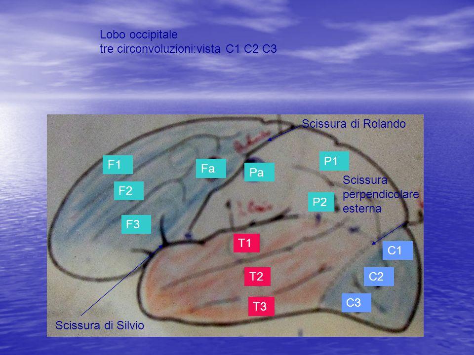 Lobo occipitale tre circonvoluzioni:vista C1 C2 C3