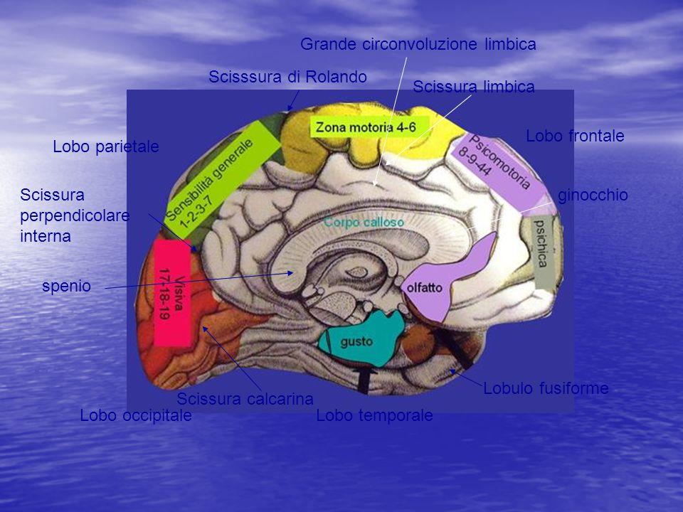 Grande circonvoluzione limbica