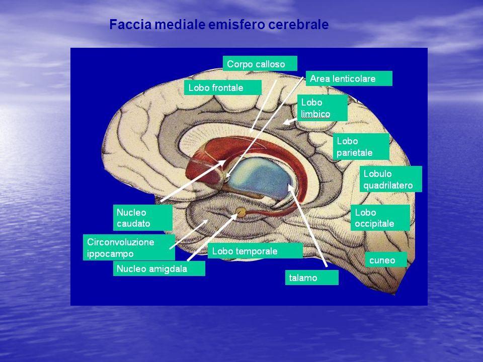 Faccia mediale emisfero cerebrale