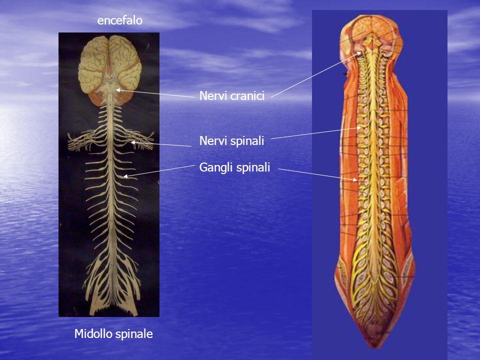 encefalo Nervi cranici Nervi spinali Gangli spinali Midollo spinale