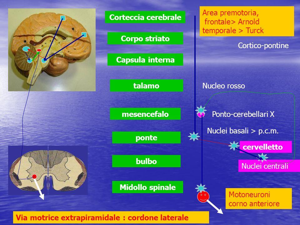 Area premotoria, frontale> Arnold temporale > Turck