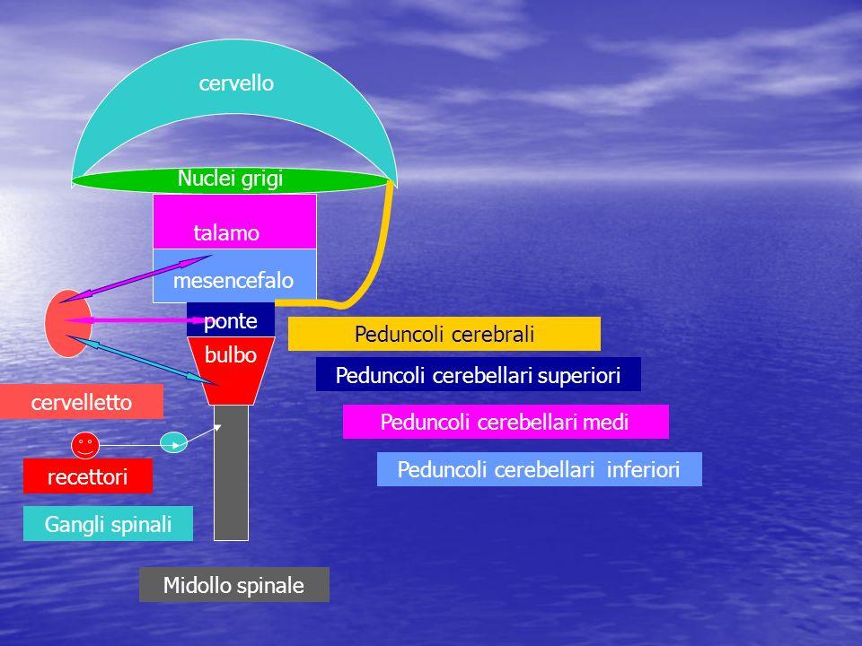 Peduncoli cerebellari superiori cervelletto Peduncoli cerebellari medi