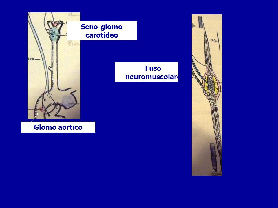 Seno-glomo carotideo Fuso neuromuscolare Glomo aortico