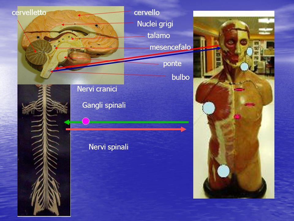 cervelletto cervello. Nuclei grigi. talamo. mesencefalo. ponte. bulbo. Nervi cranici. Gangli spinali.