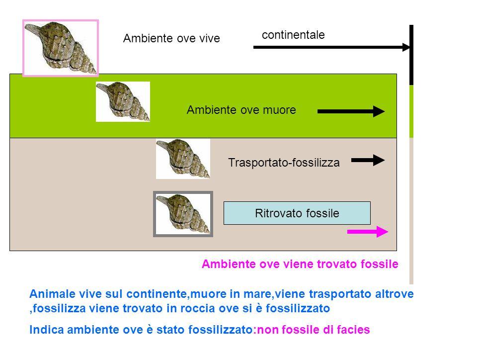 continentale Ambiente ove vive. Ambiente ove muore. Trasportato-fossilizza. Ritrovato fossile. Ambiente ove viene trovato fossile.