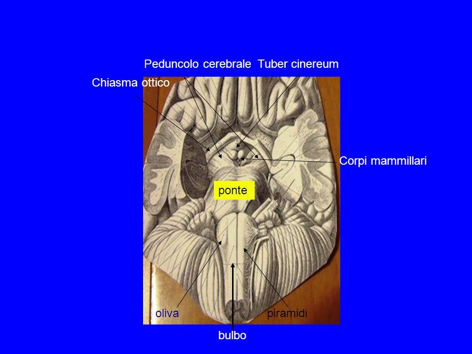oliva piramidi Peduncolo cerebrale ponte Corpi mammillari Tuber cinereum Chiasma ottico bulbo