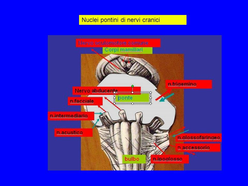 Nuclei pontini di nervi cranici