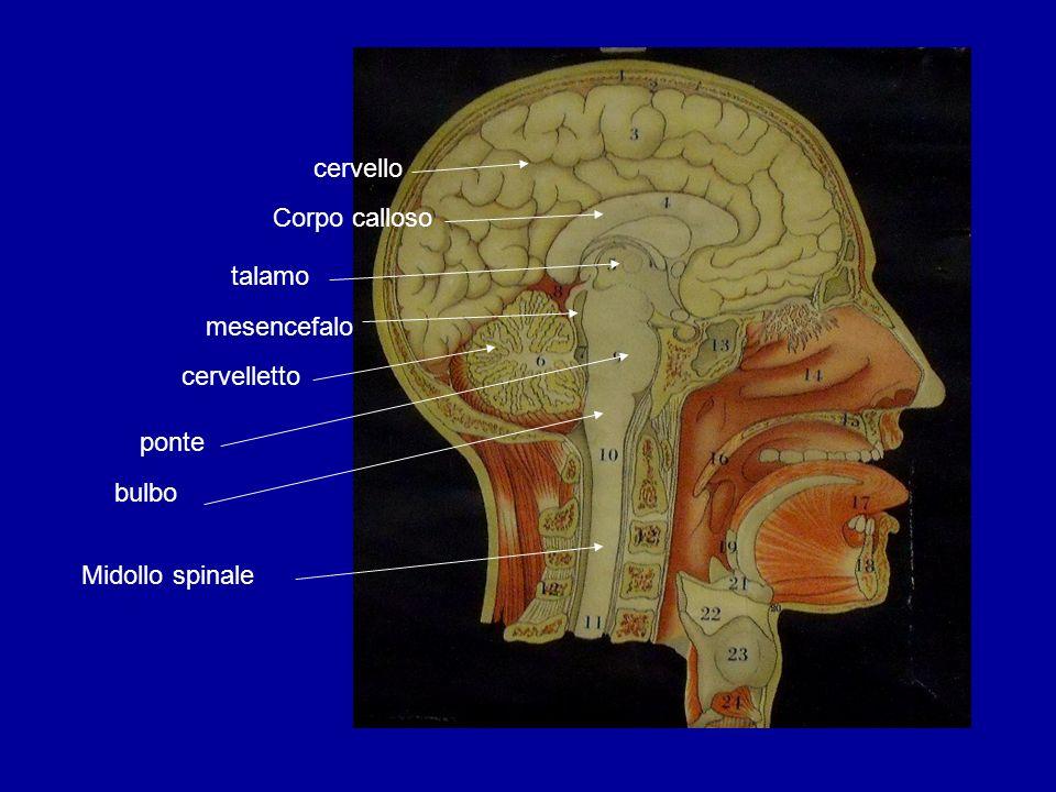 cervello Corpo calloso talamo mesencefalo cervelletto ponte bulbo Midollo spinale