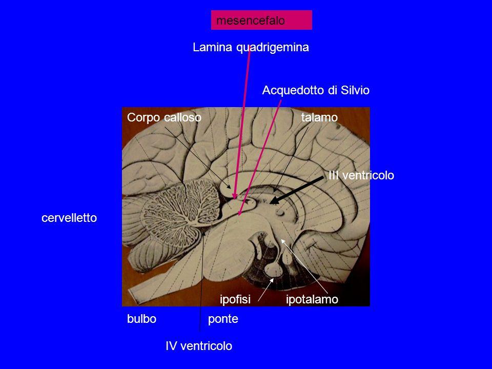 mesencefalo Lamina quadrigemina. Acquedotto di Silvio. Corpo calloso. talamo. III ventricolo. cervelletto.