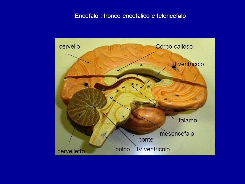 Encefalo : tronco encefalico e telencefalo