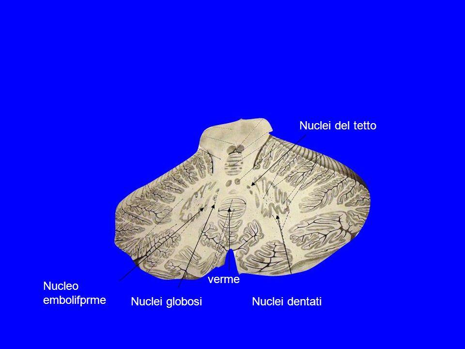 Nuclei globosi Nuclei dentati Nucleo embolifprme Nuclei del tetto verme