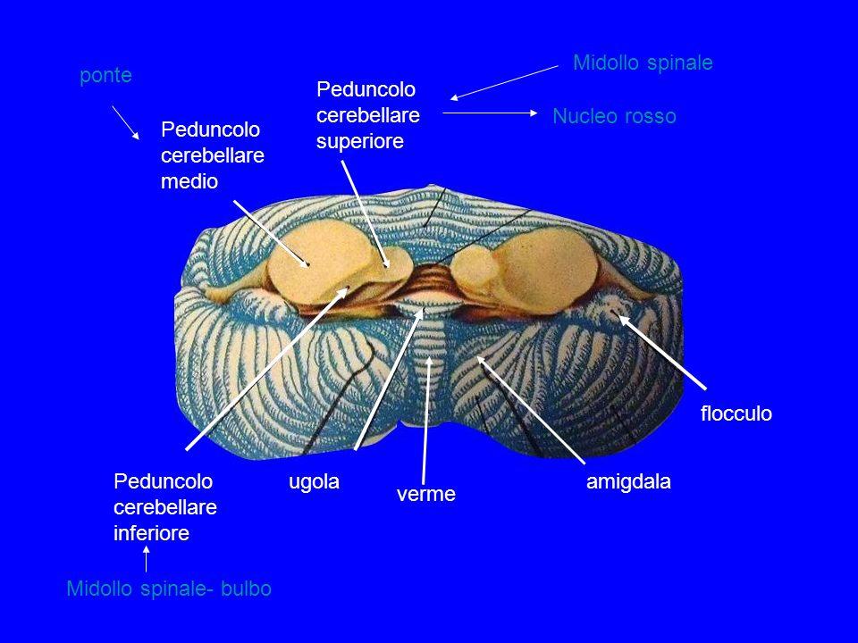 Midollo spinale ponte. Peduncolo cerebellare medio. Peduncolo cerebellare inferiore. Peduncolo cerebellare superiore.