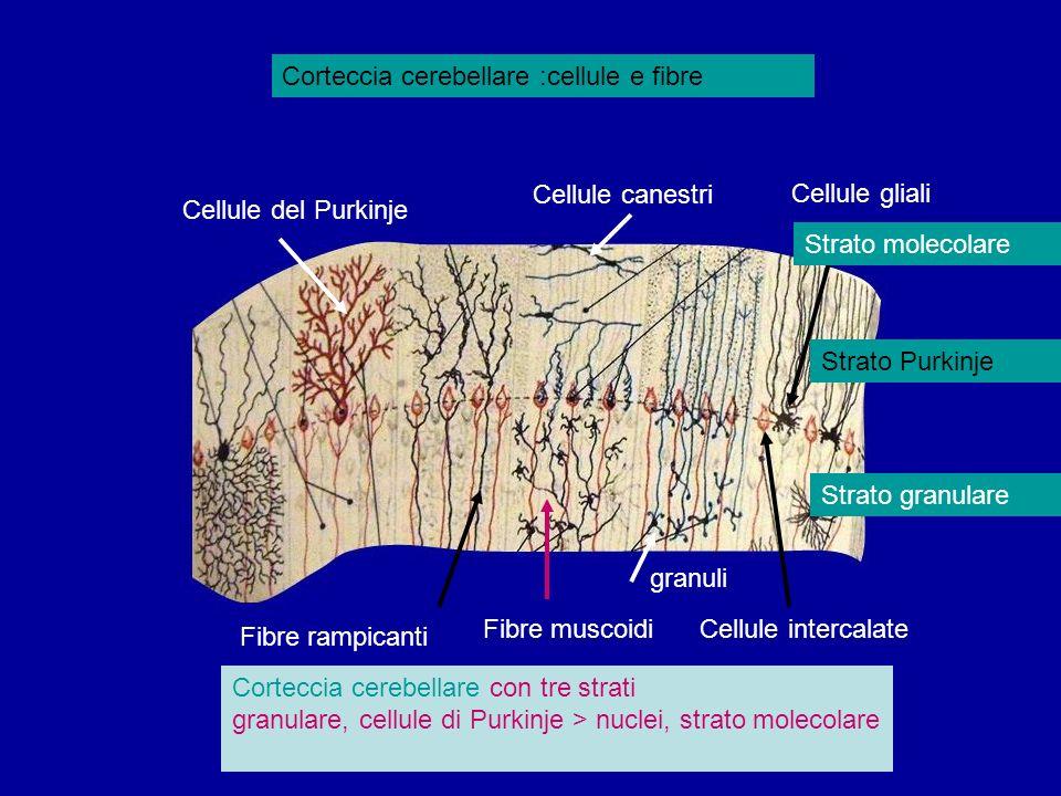 Corteccia cerebellare :cellule e fibre