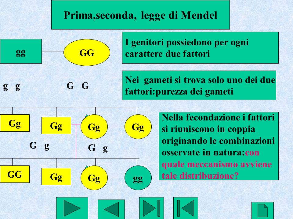Prima,seconda, legge di Mendel