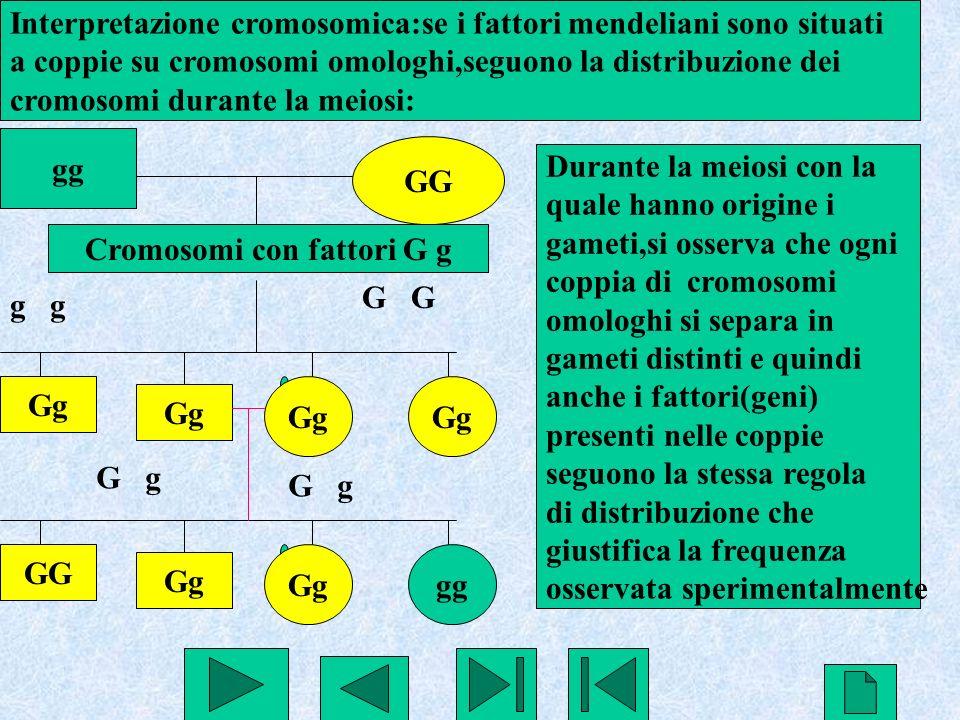 Cromosomi con fattori G g